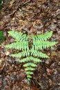 Free Green Fern Stock Image - 5261291