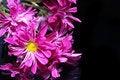 Free Pink Petals Royalty Free Stock Photo - 5261365