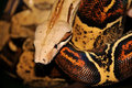 Free Red Tailed Boa Constrictor Royalty Free Stock Images - 5261499
