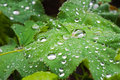 Free Macro Of Leafs With Drops Stock Photos - 5263973