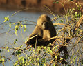 Free Close Up Of An Olive Baboon Stock Images - 5265684