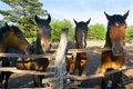 Free Horses On Farm Stock Photography - 5265952