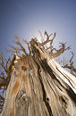 Free Bristlecone Pine Tree In Bryce Canyon Royalty Free Stock Photos - 5268218