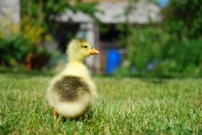 Small Duck Looking Cute Stock Image