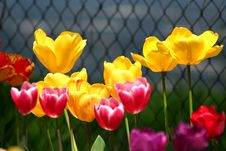 Free Tulip Mix Colors Royalty Free Stock Photography - 5261057