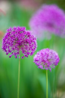 Free Violet Balls Royalty Free Stock Photography - 5261117