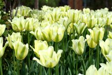 Free Tulip Yellow And Green Colors Royalty Free Stock Photo - 5261145