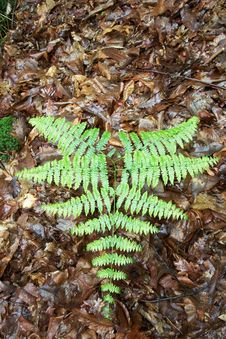 Free Green Fern Stock Image - 5261291