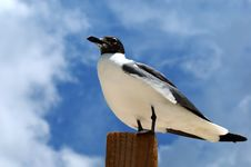 Free Proud Seagull Stock Photo - 5261580