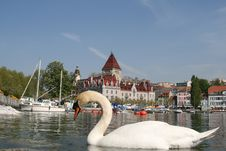 Free Swan In Front Of Ouchy Castle, Switzerland Royalty Free Stock Photography - 5261857