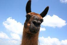 Free Llama Sky Royalty Free Stock Image - 5261946