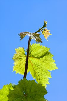 Free Green Grape Leaves Stock Photos - 5262223