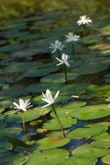 Free Water Lillies Royalty Free Stock Images - 5262519