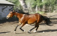 Free Running Horse Royalty Free Stock Photography - 5264227
