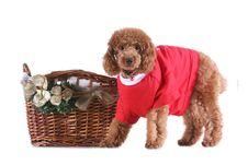 Free Toy Poodle Royalty Free Stock Photos - 5264608