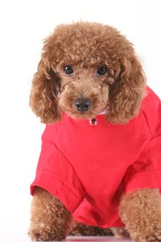 Free Toy Poodle Stock Photography - 5264672