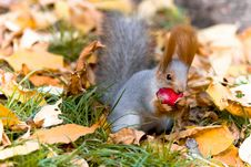 Free Gray Squirrel Stock Photo - 5264700