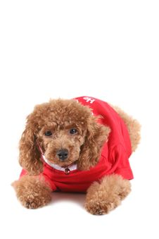 Free Toy Poodle Royalty Free Stock Photography - 5264717