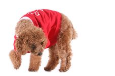 Free Toy Poodle Stock Image - 5264731