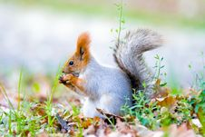 Free Gray Squirrel Royalty Free Stock Photography - 5264767
