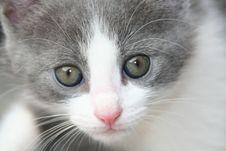 Free Kitten Royalty Free Stock Photo - 5264985