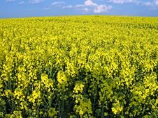 Blooming Rape Field Stock Image