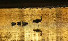 Free Sand Hill Crane Royalty Free Stock Photo - 5265965