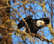 Free Perched Eagle II Royalty Free Stock Photo - 5266005