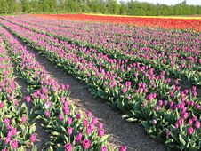 Field Of Tulip In The Spring Stock Images