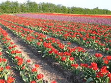 Free Field Of Red Tulip In The Spring Stock Photos - 5266213
