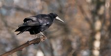 Free Crow Stock Photography - 5266442