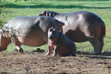 Free Hippopotamus Family Royalty Free Stock Photography - 5266447