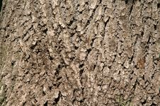 Free Oak Bark Stock Image - 5266671