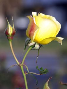 Free Yellow Rose Royalty Free Stock Image - 5266816