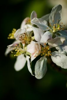 Free It S Apple Blossom Time Royalty Free Stock Photography - 5267107