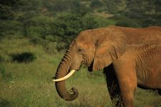 Free African Elephant Eating Royalty Free Stock Photos - 5267758