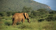 Free Elephant Walking Through The Grass Stock Photos - 5267783