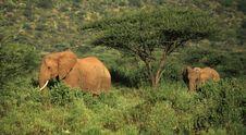 Free Two Elephants Walking Through The Grass Royalty Free Stock Photos - 5267858