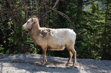 Free Mountain Goat Royalty Free Stock Images - 5267909
