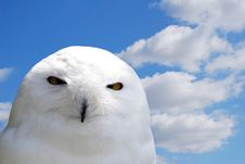 Free White Snowy Owl Royalty Free Stock Photo - 5267925