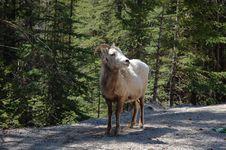 Free Mountain Goat Royalty Free Stock Photos - 5267948