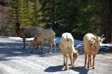 Free Mountain Goats Stock Image - 5267951