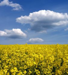 Free Rape Field Stock Photography - 5268022