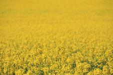 Free Yellow Field Stock Photography - 5268082