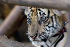 Free Tiger Cub Royalty Free Stock Photography - 5268347