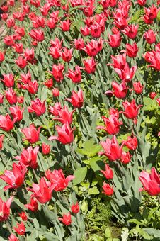 Free Red Tulip Field Stock Images - 5268424