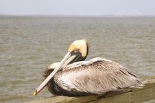 Free Pelican On Pier Royalty Free Stock Photos - 5269038