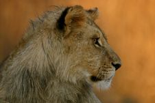Free A Young Male Lion Royalty Free Stock Image - 5269406