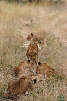 Free Lion Pride Royalty Free Stock Image - 5269646