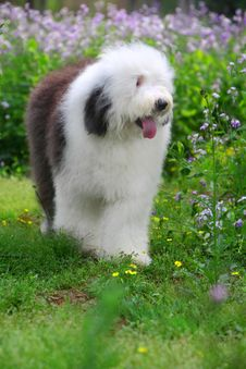 Free English Old Sheepdog Stock Image - 5269701